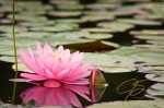 waterlily-bloom